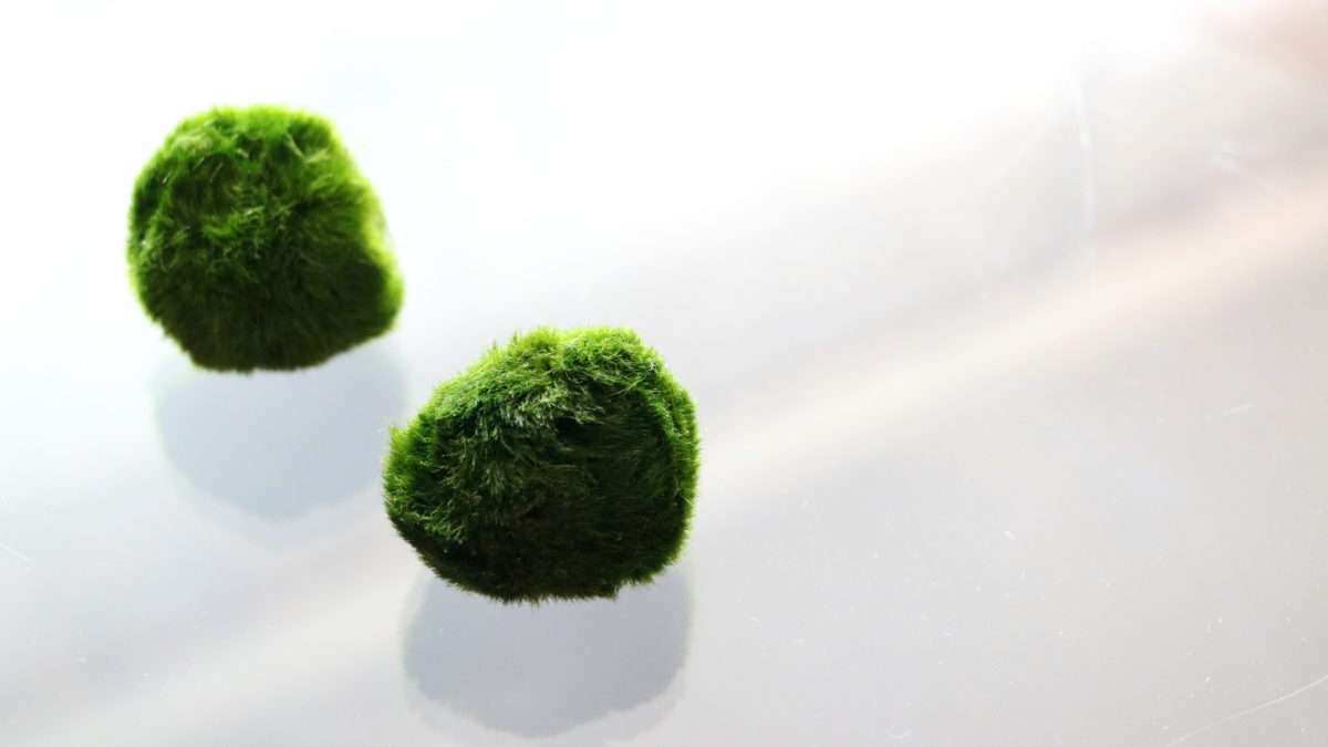 Řasokoule a Zahrada na niti